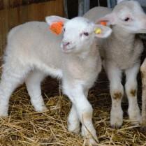Søndag besøkte vi disse yndige ukesgamle lammene