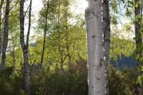Juni: Soldryss gjennom nyutsprunget løv