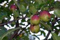 Snart kan vi høste deilige, søte epler fra vår frodige hage