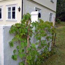 Villvinen på terrassemuren har spredd seg fint utover siden sist