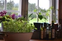 August: Urter i vinduskarmen