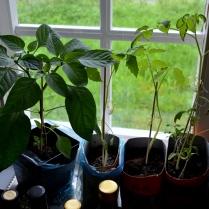 Paprika og to ulike tomatplanter