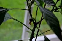 Paprikaplanten har jammen begynt å bære frukter! En bitteliten paprikababy vokser frem etter at blomsten har visnet, og flere kommer