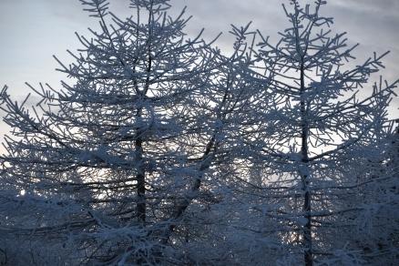 Vintertrær som kniplingsbroderi