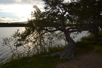 En fjellfuru ved Tallsjøen, Tolga