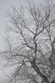 Hvit snø mot mørke stammer skaper fine kontraster
