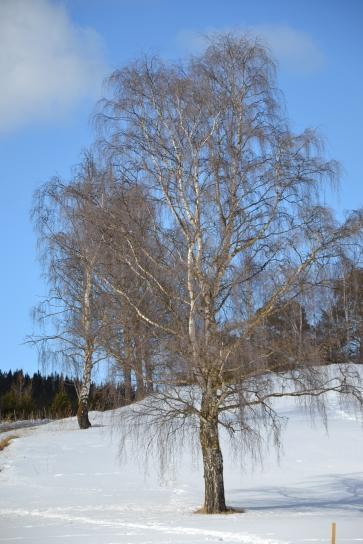 Vinden har gjort trærne bare igjen