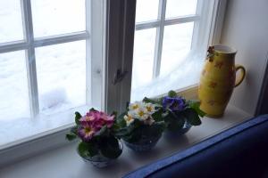 Primula i vinduskarmen. Normalt et tegn på at våren nærmer seg - men isroser på ruta vitner heller om at vinteren endelig har festet grepet