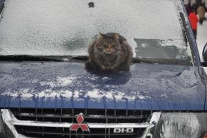 Kattepusen varmer seg på bilpanseret, tross riktig mildvær rundt null.