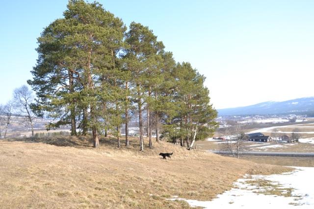 Vår lille - ikke hundremeterskog, men tjuemeterskog, er helt fri for snø!