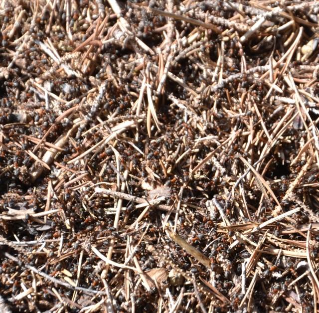 Ser du riktig godt etter, kan du skimte de travle maurene som springer rundt i tua
