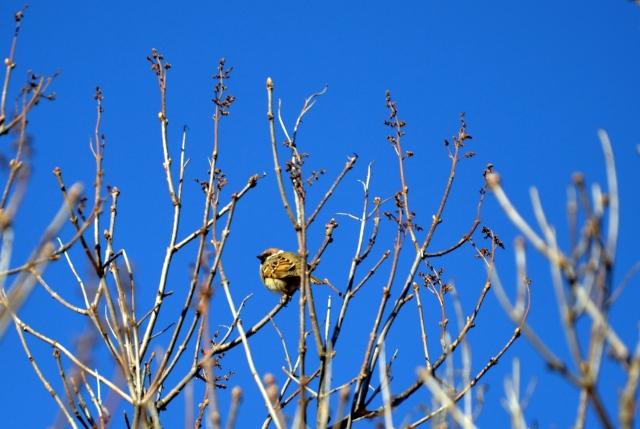 I toppen av syrinen sitte en liten spurv og koser seg og venter på at bladene skal komme frem