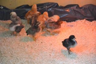 Lurer på om ikke den sorte Minorkaen er en hane... han inntar i hvert fall hanepositur mot Gudleik