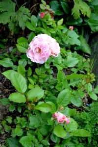 Til og med rosene ble fine i år!