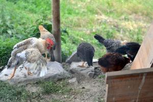 Og hønsene vokste seg store!