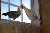 Turtelduer - nei turtelhøns