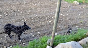 Hund og katt! Begge like ivrig opptatt av fjærkreet