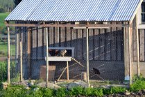 Hønsegården med inngang til hønsehuset, der hønsene kan gå inn og ut som de vil