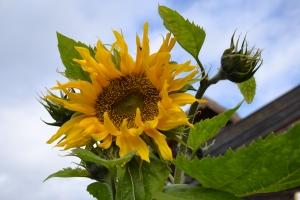 Solsikkene frødde seg selv rundt vinterens fuglebrett
