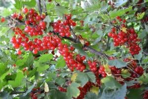 Vi har plukket og plukket men fortsatt ser noen av bærbuskene sånn ut!