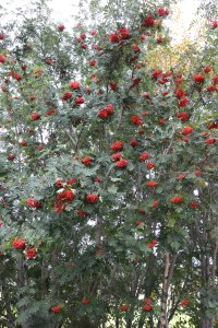 Bugner gjør også rognebærtrærne, og da blir det, hmm, mye eller lite snø? derom strides man visst! Fasiten kommer i april en gang.
