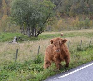 Denne vesle karen traff vi på i Nordland nylig. Han likner mer en bamse, og er av rasen highland cattle