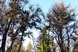 Skjeggprydete trær!