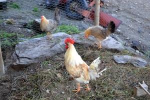 Disse tre er alle jærhøns