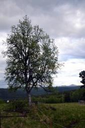 Den gode nabo, Thor, gir en hjelpende hånd, her har han klatret opp i treet med sag, for å fjerne grener slik at huset får plass