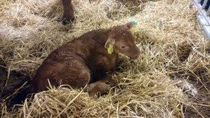 I mars kom den første vesle kalven, Gulla!
