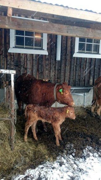 Etter hvert fikk Gulla selskap av fire andre kvigekalver og fem oksekalver.