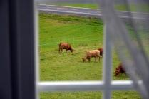 Så er kyra kommet hjem, men det er masse deilig gras på enga rundt gården, så de lider ingen nød