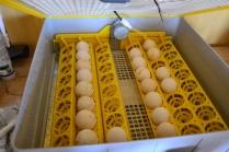 Vi skulle klekke ut flere kyllinger, og rugemaskinen gjorde jobben. Dessverre ble det til slutt bare et fåtall som ble klekket og som overlevde
