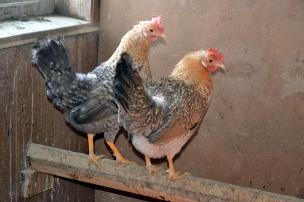 De to jærhønene, Snupphøna og Perlemor, måtte holdes innendørs i kulda