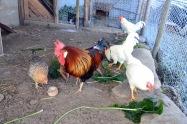 I hønsegården har hønene vokst seg store og vi henter inn flere egg enn noen sinne.