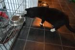 Gudleik har blitt et skikkelig matvrak, og gjør hva han kan for å få tak i en matbit. Her er han på raid i Bjørk sin matskål inne i buret hennes