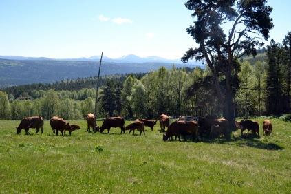 Endelig, dyra har kommet opp på sætra og storkoser seg med saftig gras og fin utsikt!