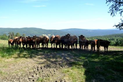 På sætra har kyr og kalver vokst seg store på slutten av sommeren, og skal snart hentes hjem.