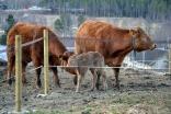 Mor slikker kalven sin - slik knyttes bånd mellom mor og unge
