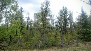 Vi var høyt over havet, og vegetasjonen består der av mye småbjørk med masse skjegg på