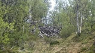 Vi passerte mye rart på ferden, her et kjempestort nedfallent tre