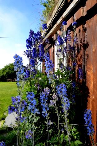 Fortsatt har vi vakkert blomsterflor som vitner om at sommeren ikke er helt forbi ennå