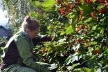 Ripsbuskene bugner og vi plukker det vi orker. Fortsatt er det mye igjen