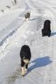 Etter endt arbeidsøkt er det tid for en liten tur med alle tre hundene, Bjørk, Ella og Birka.